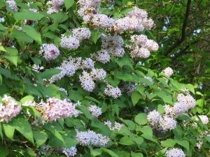 Late lilacs